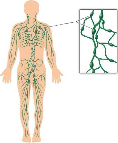 Лимфоузлы в теле человека