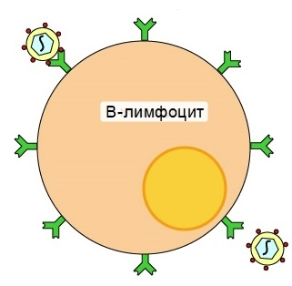 В-лимфоцит борется с антигенами