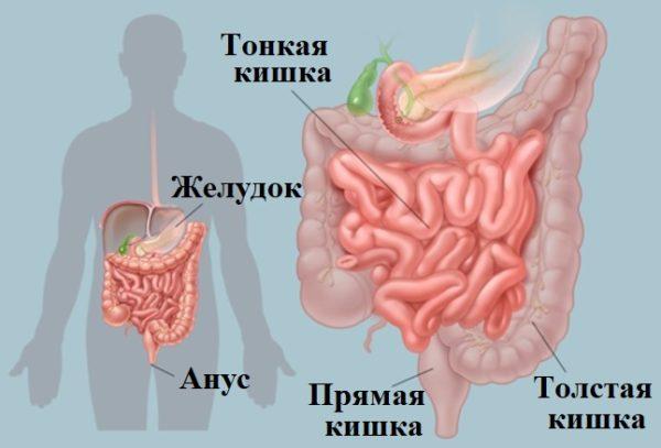 Отделы кишечника человека