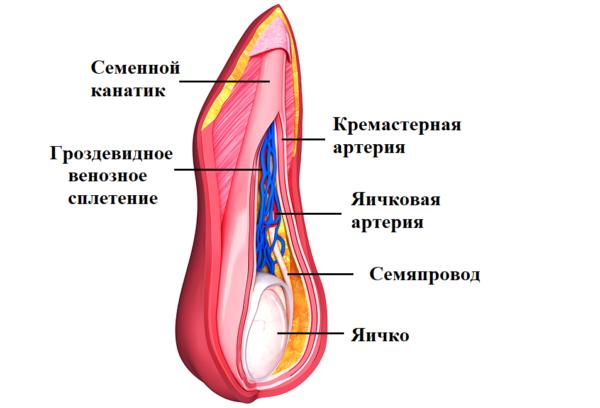 Семенной канатик