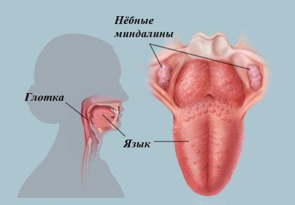 Миндалины у человека
