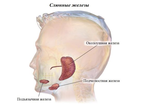 Слюнные железы человека