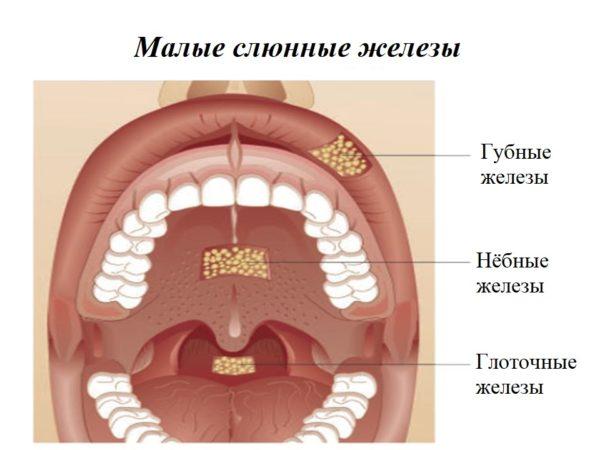 Малая слюнная железа