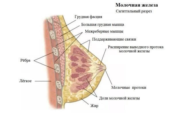 Молочные железы у женщины